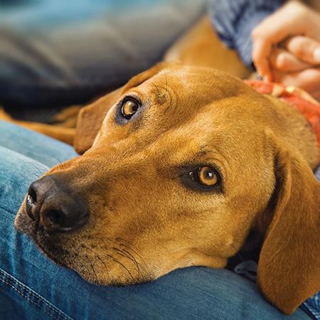 Coronvirus bei Hunden