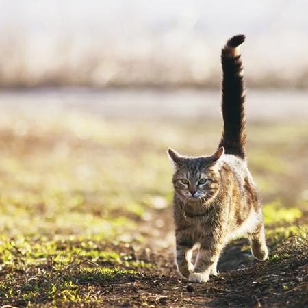 Schwanzstellung bei Katzen