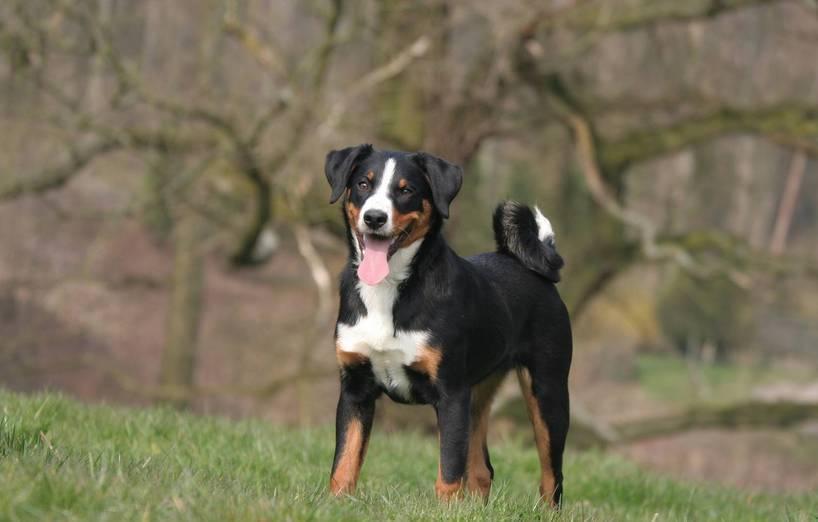 Appenzeller Sennenhund Agila