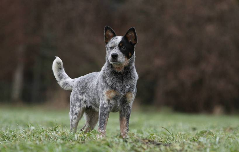 Australien Cattle Dog