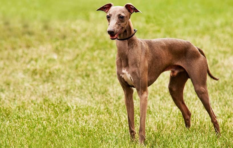 Medieval Dog Breed