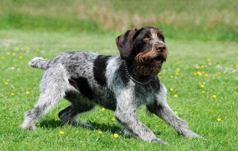 Dog Breeds Labrador Pointer