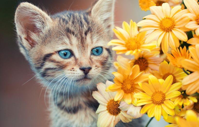 Die Blaue Augenfarbe Von Babykatzen Agila