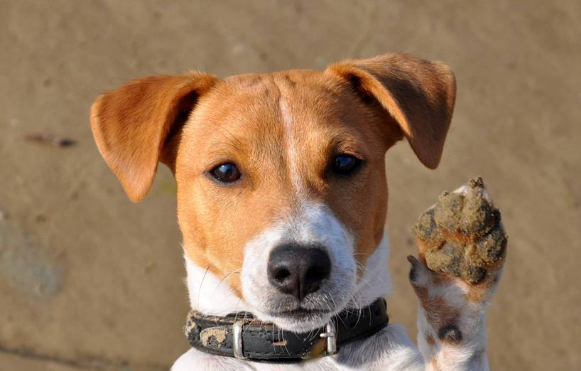 jack russell terrier jagdliche youtube