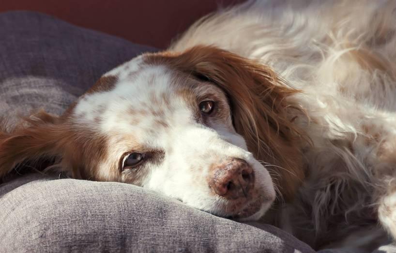 diabetes katarakt hund