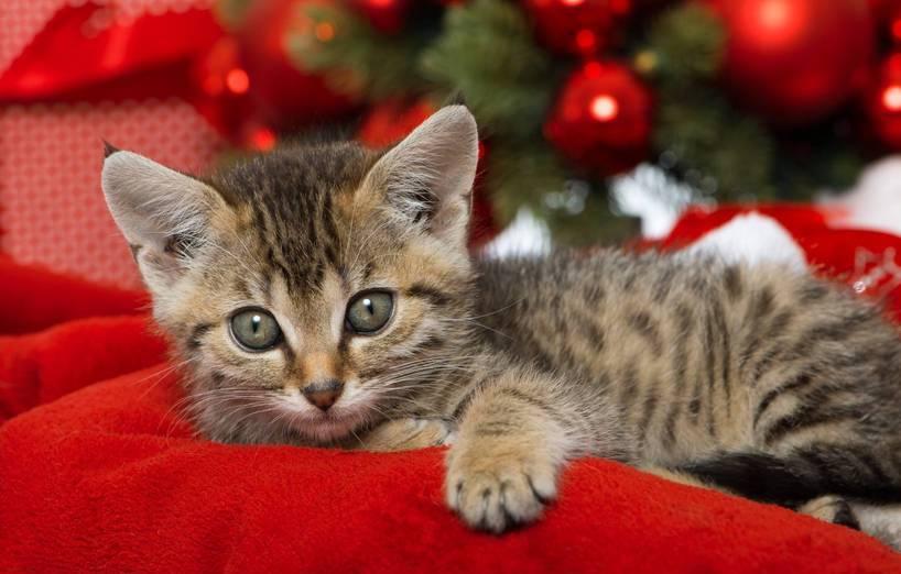 Katze Als Weihnachtsgeschenk Agila
