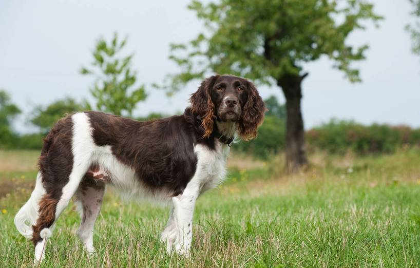 muensterlaender hund agila