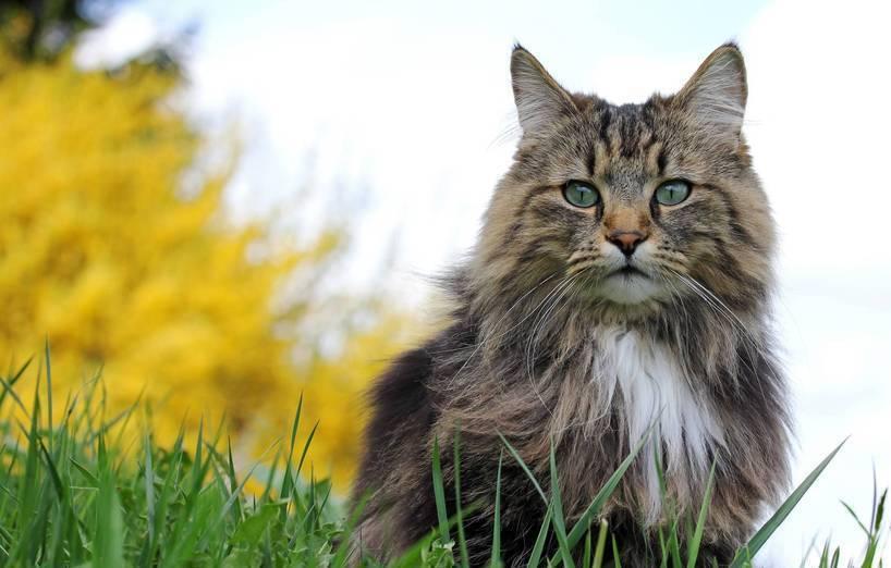 Norwegische Waldkatze Agila