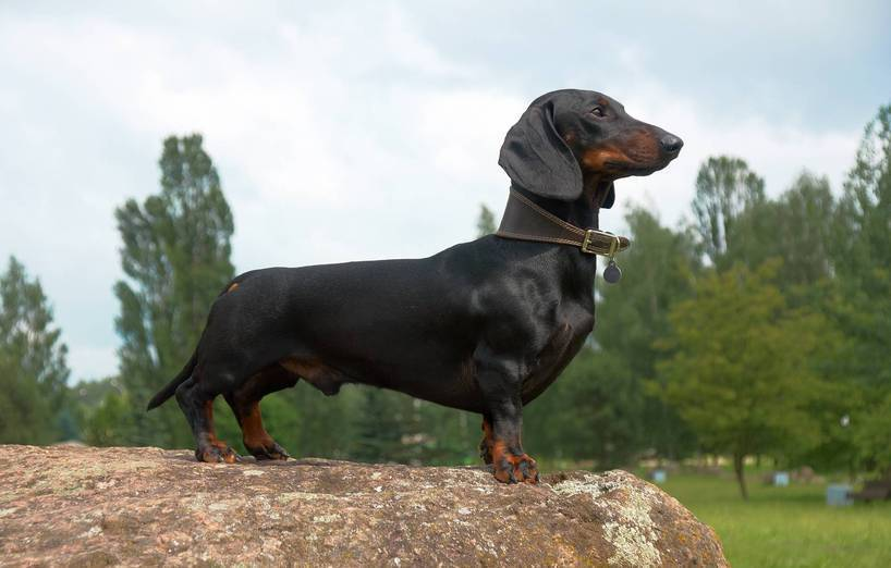 What Is The Sausage Dogs Real Name