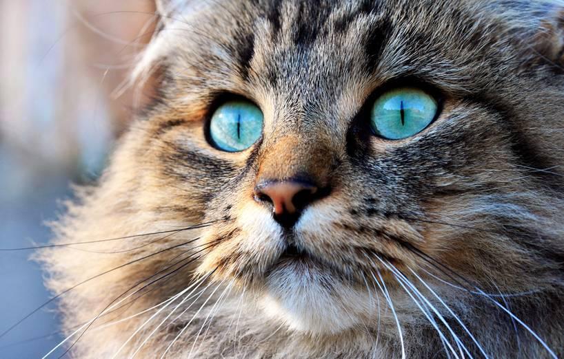 Warum Katzenaugen Leuchten Agila